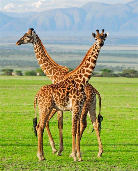 imagenes de jirafas salvajes banco de im 193 genes 25 fotograf 237 as que te van a encantar