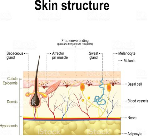skin structure stock photos royalty free skin structure images depositphotos 174 human skin anatomy stock vector 645164882 istock