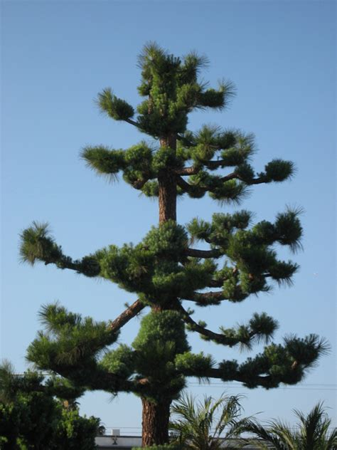 trees orange county pine tree at orange county buddhist church discover nikkei
