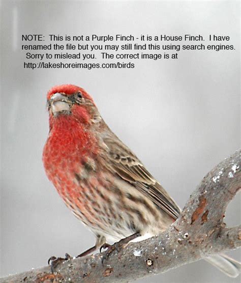 house finch purple finch difference between house and purple finch