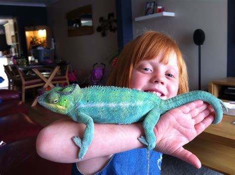 panther chameleon blue phase with tank ipswich suffolk pets4homes