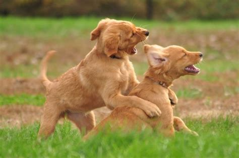 brown golden retriever puppies brown golden retriever puppies dogs and puppies
