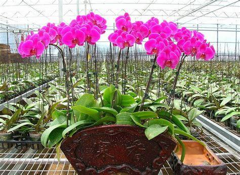 Bibit Anggrek Dari Biji cara menanam tanaman anggrek hidroponik kumpulan menanam