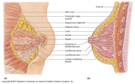 diagram of milk ducts in breast april 2012 70 s big page 3