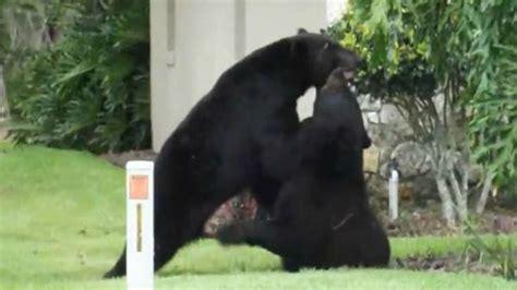 bear in backyard bears wrestle in the backyard video