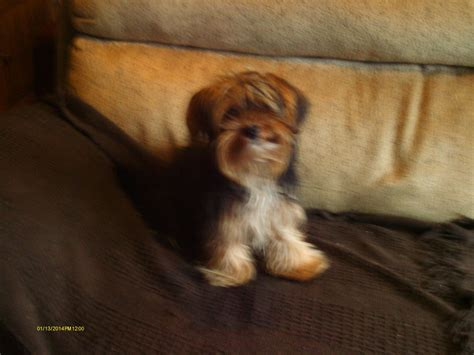 standard yorkie standard terrier for sale chipping norton oxfordshire pets4homes