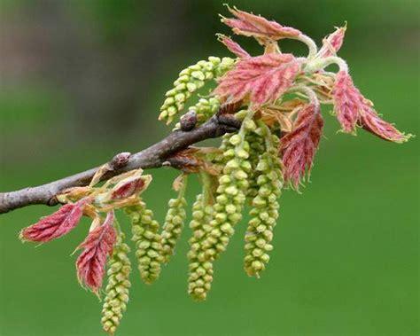 fiori di bach oak cristalli fiori di bach la cristalloterapia
