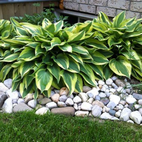 436 best hosta gardening images on