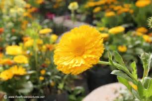 flowers pictures calendula flower picture flower pictures 435