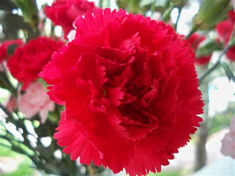state flower ohio s state flower red carnation oh io pinterest