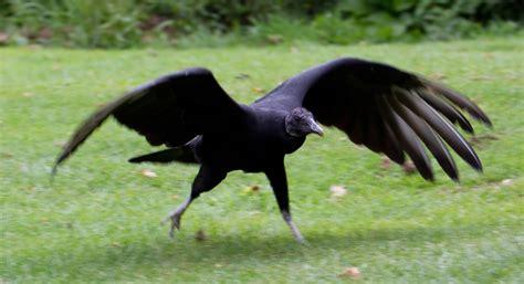 from in black file black vulture 1 6022510912 jpg wikimedia commons