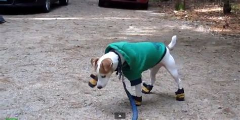 dogs in boots in boots