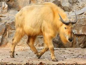 the golden the golden takin rare weird lazer horse