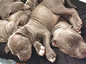 here s why you see so many pit bulls in shelters barkpost