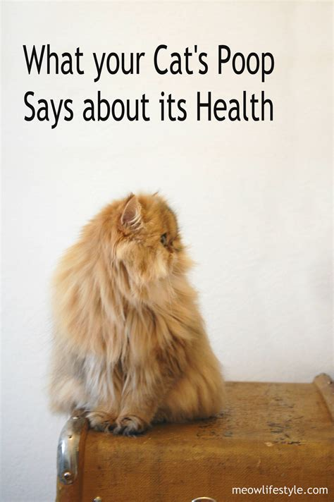 Kitten Has Stools by What Your Cat S Says About Its Health Meow Lifestyle