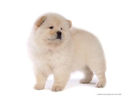puppy pictures puppies images chow chow puppy wallpaper hd wallpaper and background photos 13936805
