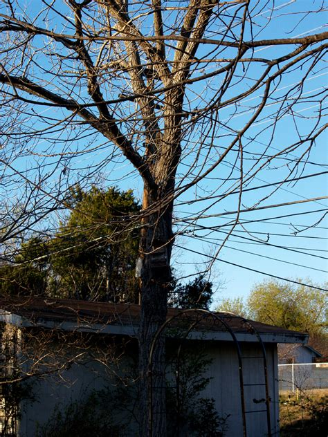 When Do Cottonwood Trees Shed from the producer march 6 2009 central gardener