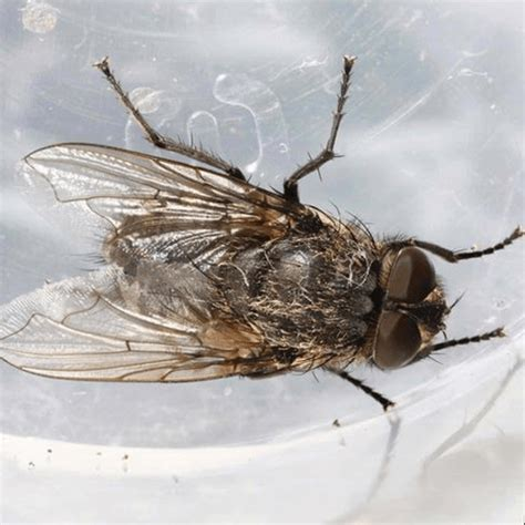 Cluster Flies In Kitchen by How To Get Rid Of Cluster Flies How To Get Rid Of Stuff