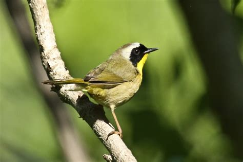 tails of birding american wood warblers photo gallery 1
