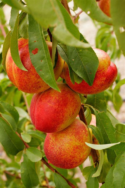 nectarine tree nectarine tree frutas
