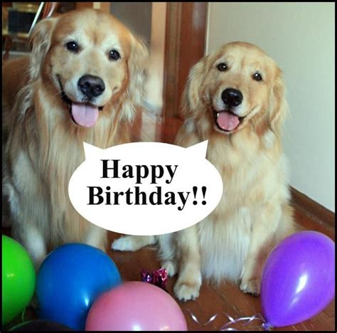 happy birthday golden retriever pawty on dogs cats other creatures