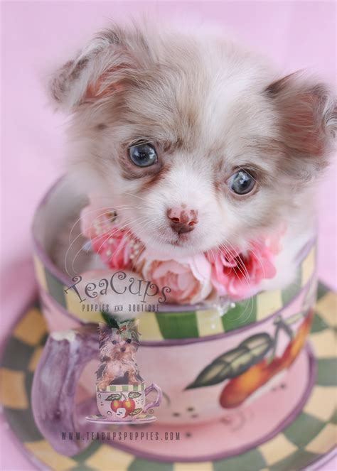 teacup puppies for sale in florida chihuahua puppies for sale by teacups puppies and boutique teacups puppies boutique