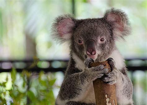 wallpaper iphone koala 17 koala bear wallpapers hd free download