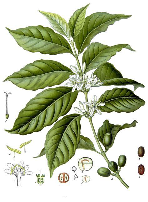coffee plant wallpaper kaffee pflanze wikipedia