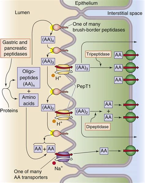 protein absorption protein digestion nutrient digestion and absorption