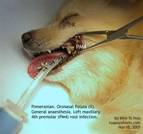 pomeranian bad teeth veterinary medicine surgery singapore toa payoh vets dogs cats rabbits guinea