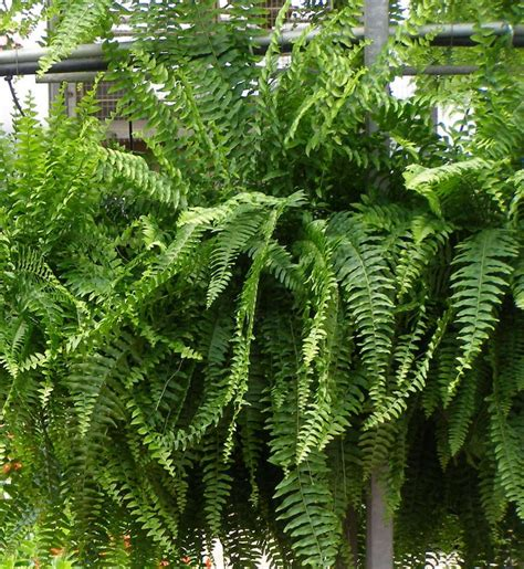 boston fern shade flowers pinterest