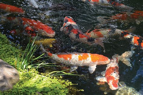 Garden State Koi by Garden State Koi Hours 28 Images Panoramio Photo Of