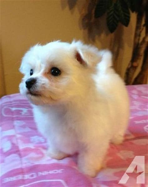 maltese puppies for sale in sc maltese puppies ckc registered for sale in aynor south carolina classified