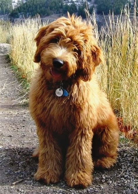 goldendoodle dogs 12 reasons why you should never own goldendoodles