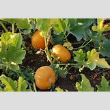 Pumpkins Growing   3008 x 2000 jpeg 1353kB