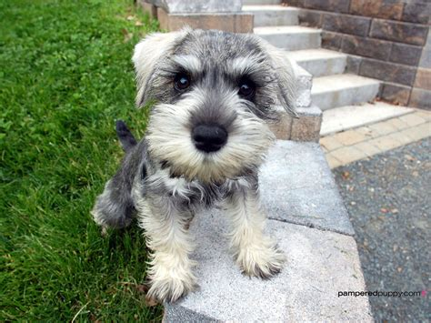 miniature puppies miniature schnauzer all small dogs wallpaper 14497230 fanpop