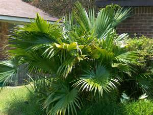 Palm Plant Diseases - online plant guide livistona chinensis chinese fan palm
