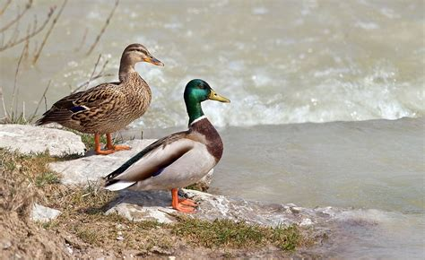 Ducks In The Pictures