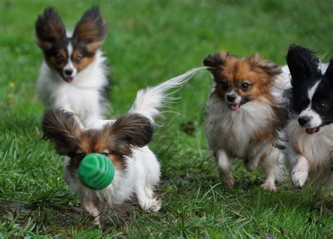 how much water should a puppy drink during potty road s end papillons how much water does a papillon phalene small should drink