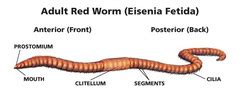 earthworm dissection quizlet annelids smaller ecdysozoans lab 5 flashcards quizlet