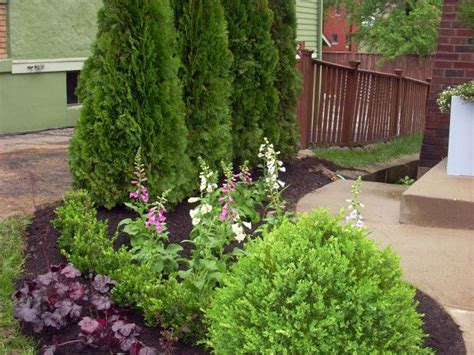 weeds in the backyard 4 feet tall best 20 emerald green arborvitae ideas on pinterest