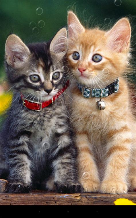cat live wallpaper for pc double cat live wallpaper android apps on google play
