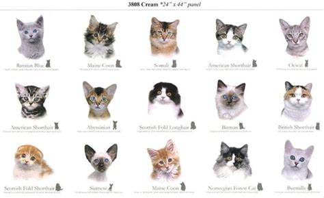 types of siamese cats colors www imgkid the image