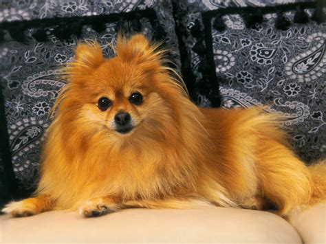 pomeranian wallpaper pomeranian wallpaper 58 hd wallpaper dogbreedswallpapers