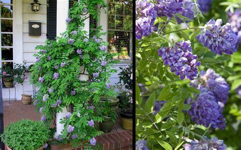buy amethyst falls wisteria vine for sale online from wilson bros gardens
