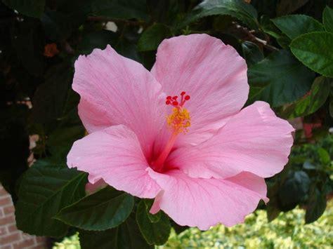 fiore di hibiscus hibiscus piante perenni hibiscus