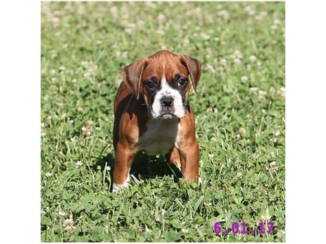 boxer puppies columbus ohio boxer petland carriage place