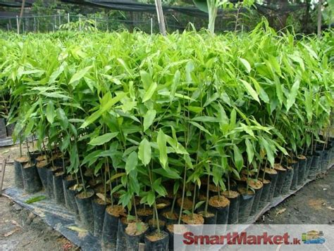 Senci Green Flower Garden Healthy Agarwood Plants