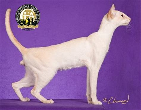 Breed Profile: The Colorpoint Shorthair