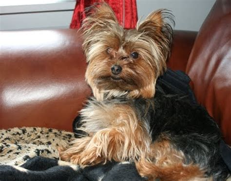 yorkie haircuts pictures summer cuts miniature yorkshire terrier the summer haircut for hot